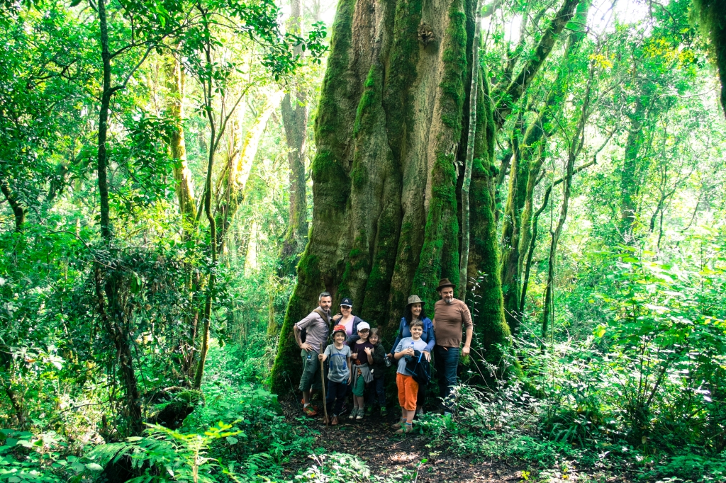 cassonia tree - normally small - this one 2 millennia old